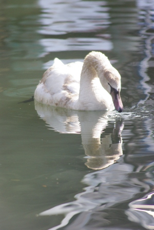 swanreflection.jpg